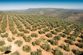 Interóleo confirma que una adecuada gestión de las disponibilidades de aceite de oliva permitirá cubrir las necesidades de los mercados