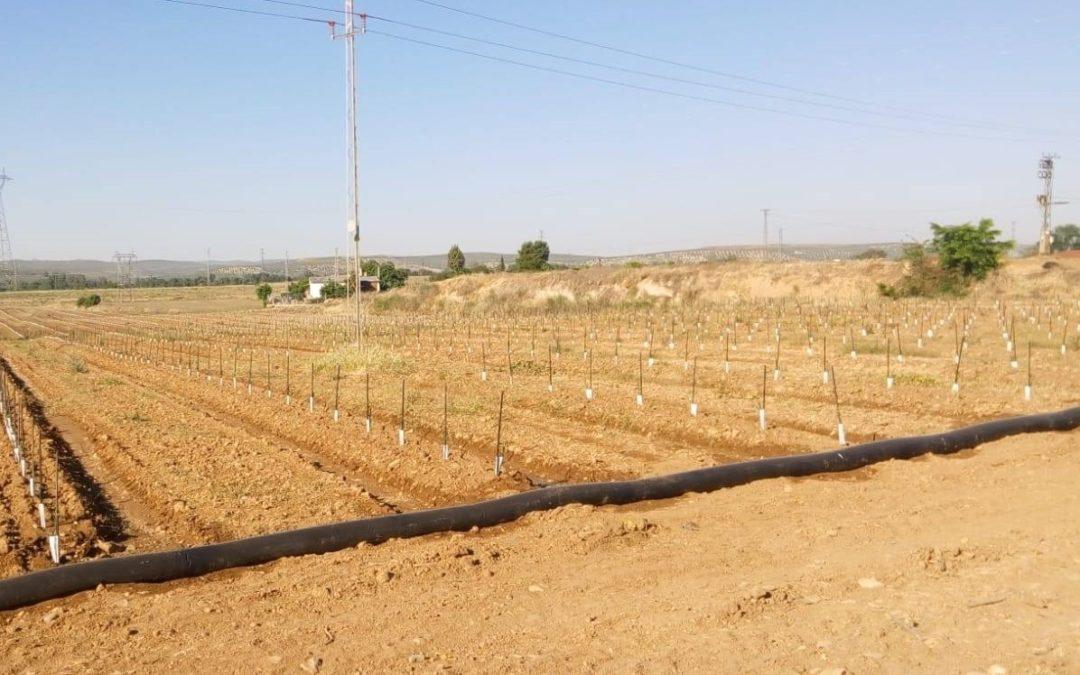 La Asociación Amigos del Patrimonio denuncia la plantación de olivar en el Yacimiento Isturgi