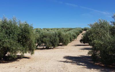 100 hectáreas de olivar perdidas por el herbicida según datos de COAG Jaén