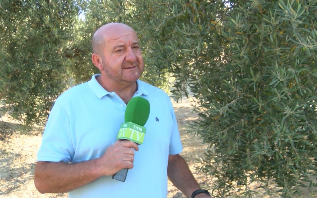 Los olivos torrecampeños reciben el tratamiento de la mosca