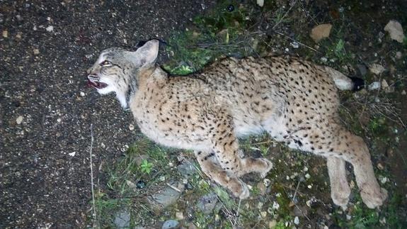 Hallado muerto en Marmolejo un cachorro de Lince; el cuarto en tres años