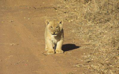 Helvia, la leona 'jiennense' recién nacida en un circo confinado desde marzo en Arjona