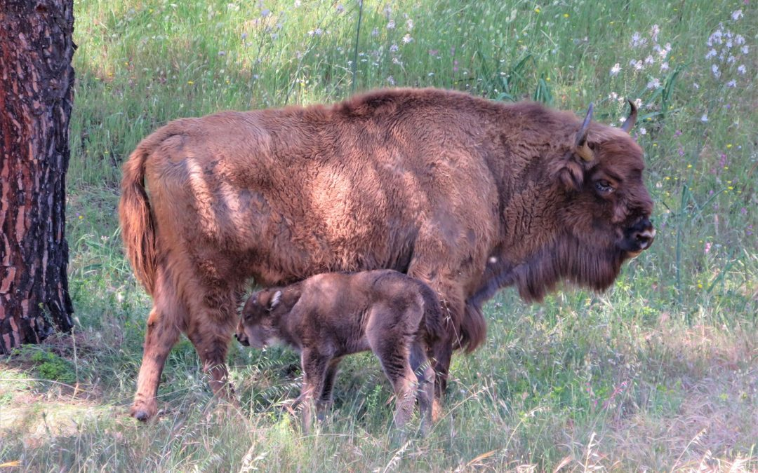 Nace la primera cría de bisonte en la provincia de Jaén