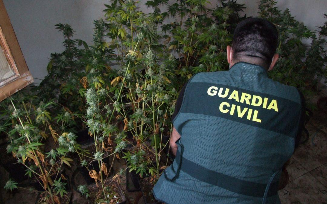 Dos detenidos en Alcaudete por cultivo y tráfico de marihuana
